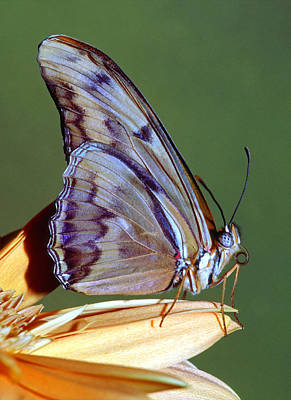 Photograph - Julia Butterfly by Millard H Sharp