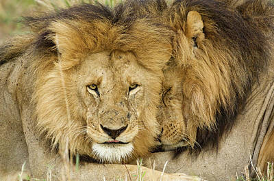 Animal Behavior Photograph - Kenya, Masai Mara by Jaynes Gallery