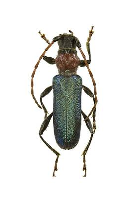 Longhorn Photograph - Longhorn Beetle by Science Photo Library