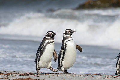 Sea Lions Photograph - Magellanic Penguin (spheniscus by Martin Zwick