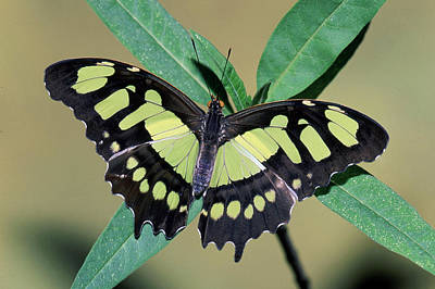 Photograph - Malachite Butterfly Siproeta Stelenes by Millard H. Sharp