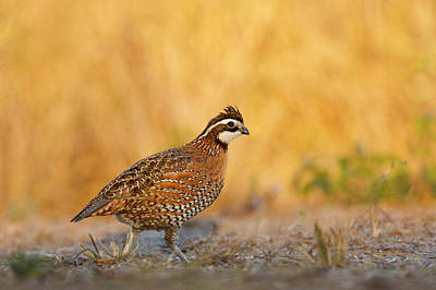 Ditto Photograph - Northern Bobwhite (colinus Virginianus by Larry Ditto