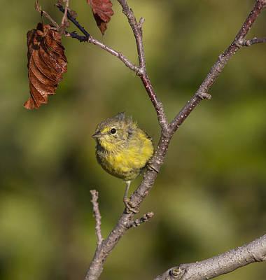 Photograph - Orangecrowned Warbler by Doug Lloyd