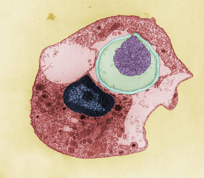 Photograph - Phagocytosis by Joseph F Gennaro Jr