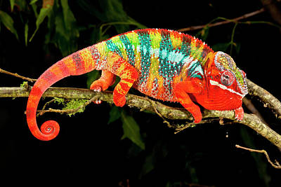 Rainbow Panther Chameleon, Fucifer Art Print
