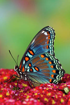 Yarrow Photograph - Red Spotted Purple Butterfly, Limenitis by Darrell Gulin