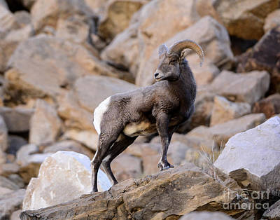Kitchen Mark Rogan - Rocky Mountain Bighorn Sheep by Dennis Hammer
