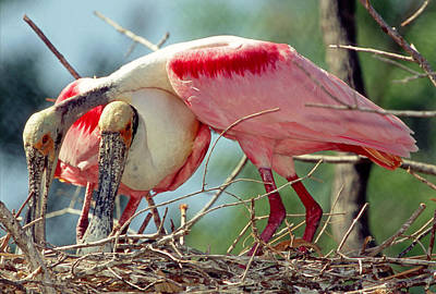 Photograph - Roseate Spoonbill Pair In Nest by Millard H. Sharp