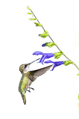 Salvia Photograph - Ruby-throated Hummingbird (archilochus by Richard and Susan Day