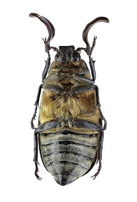 Ventral View Photograph - Scarab Beetle by F. Martinez Clavel