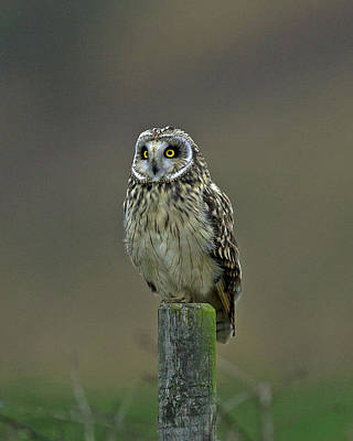 Short Eared Owl Art Print by Paul Scoullar