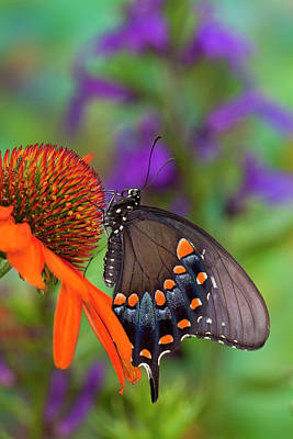 Cone Flower Photograph - Spicebush Swallowtail Butterfly by Darrell Gulin
