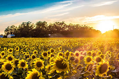 Photograph - Sun Setting Over The Sunflower Farm by Melinda Ledsome