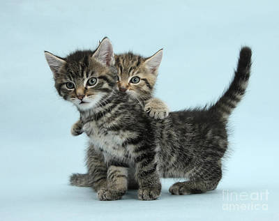 House Pet Photograph - Tabby Kittens by Mark Taylor
