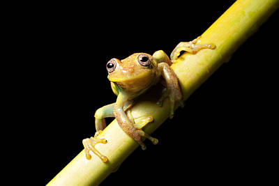 Rainforest Photograph - Tree Frog by Dirk Ercken