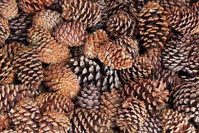 Pine Cones Wall Art - Photograph - Usa, California, Inyo National Forest by Jaynes Gallery