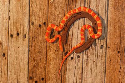 Corn Snake Photograph - Usa, North Carolina by Jaynes Gallery