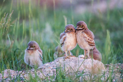 Owlet Photograph - Usa, Wyoming, Sublette County by Elizabeth Boehm