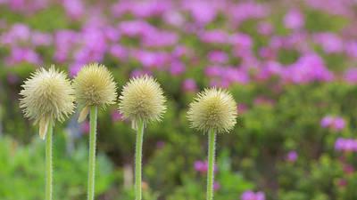 Pasque Flower Photograph - Washington, Mount Rainier National Park by Jaynes Gallery