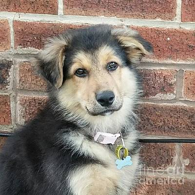 Gsd Wall Art - Photograph - 13 Week Old Miss by Isabella Shores