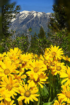 Photograph - Balsamroot On Signal Mountain by Walt Sterneman