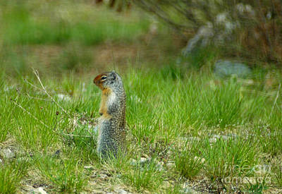 Photograph - 138p Columbian Ground Squirrel by NightVisions
