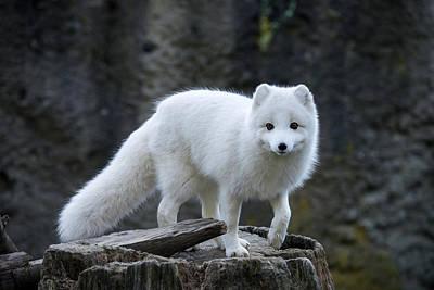 Photograph - Arctic Fox by Mark Newman
