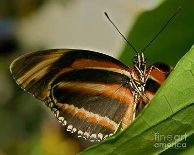 Art Print featuring the photograph Butterfly by Olga Hamilton