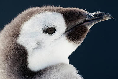 Emperor Penguin Photograph - Cape Washington, Antarctica by Janet Muir