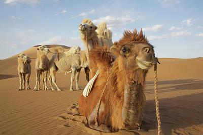 Camel Photograph - China, Inner Mongolia, Badain Jaran by Jaynes Gallery