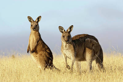 Marsupial Photograph - Eastern Grey Kangaroo Or Forester by Martin Zwick