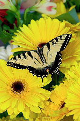 Gerber Daisy Photograph - Eastern Tiger Swallowtail Papilio by Darrell Gulin