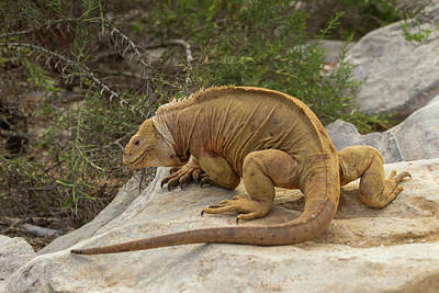Land Iguana Photograph - Ecuador, Galapagos National Park by Jaynes Gallery