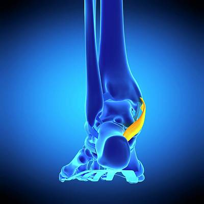 Foot Ligament Art Print by Sebastian Kaulitzki/science Photo Library