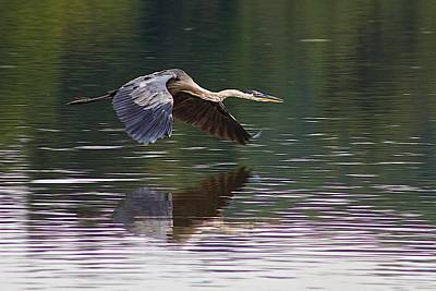 Great Blue Heron Art Print by Dan Ferrin