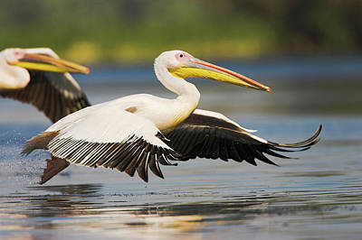 Romania Photograph - Great White Pelican (pelecanus by Martin Zwick