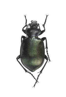 Ground Beetle Print by Science Photo Library