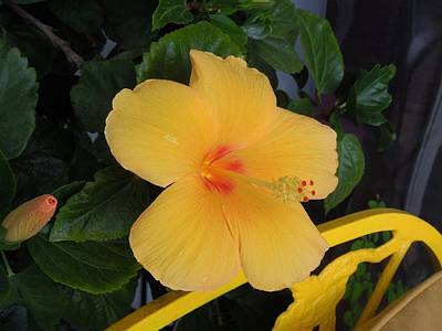 Photograph - Hibiscus by Ron Davidson