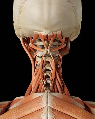 Human Neck Muscles Art Print