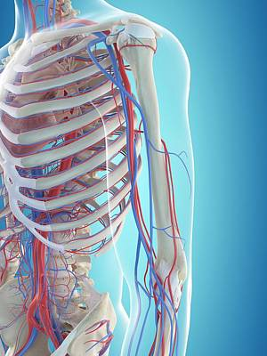 Human Vascular System Art Print by Sciepro