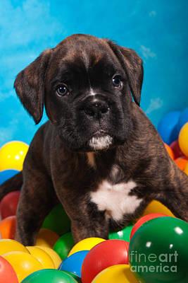 little Boxer dog puppy Art Print by Doreen Zorn