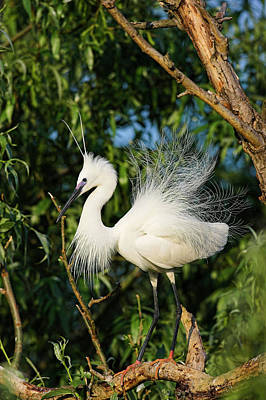 Little Egret (egretta Garzetta Art Print