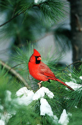 Susan Photograph - Northern Cardinal (cardinalis Cardinalis by Richard and Susan Day