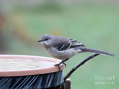 Photograph - Northern Mockingbird by Jack R Brock