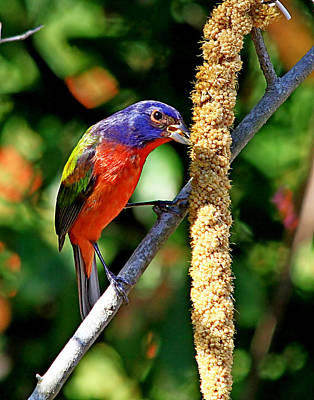 Photograph - Painted Bunting by Ira Runyan