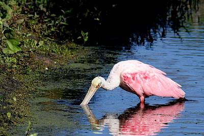Photograph - Roseate Spoonbill by Ira Runyan