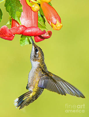 Ruby Throated Hummingbird Art Print