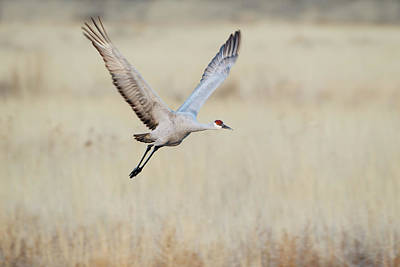 Gamebird Photograph - Sandhill Crane (grus Canadensis by Larry Ditto