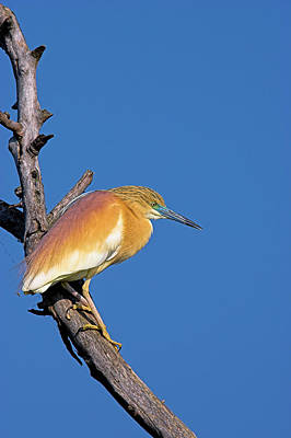 Squacco Heron (ardeola Ralloides Art Print by Martin Zwick