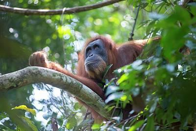Orangutan Photograph - Sumatran Orangutan by Scubazoo